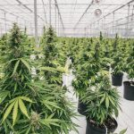 Canopy Growth completes genetics transfer to Spain