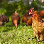 'No' to chickens in backyard in Smiths Falls