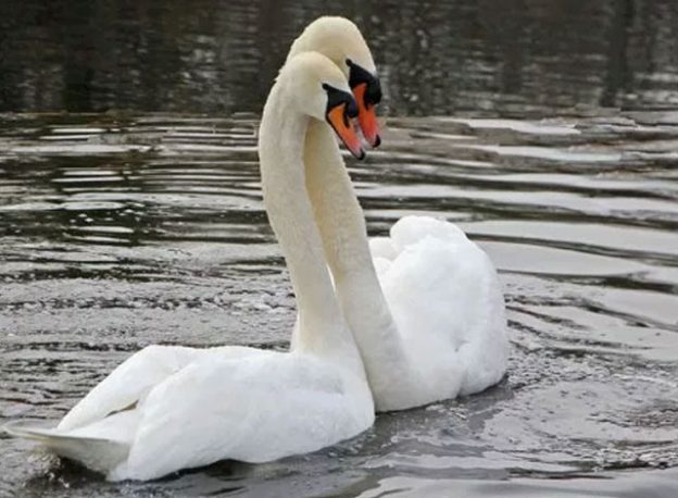 Smiths Falls Swans