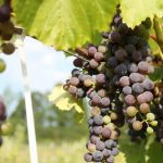 Smokie Ridge Vineyard
