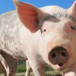 Lombardy Fair cancels pig scramble for 2017