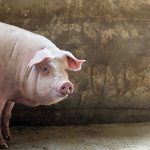 Letter from the editor: I eat pork