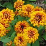 Garden Matters: Do Marigolds deter bugs?